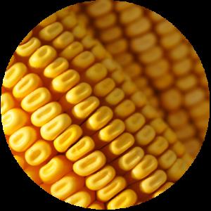 Corn-Circle