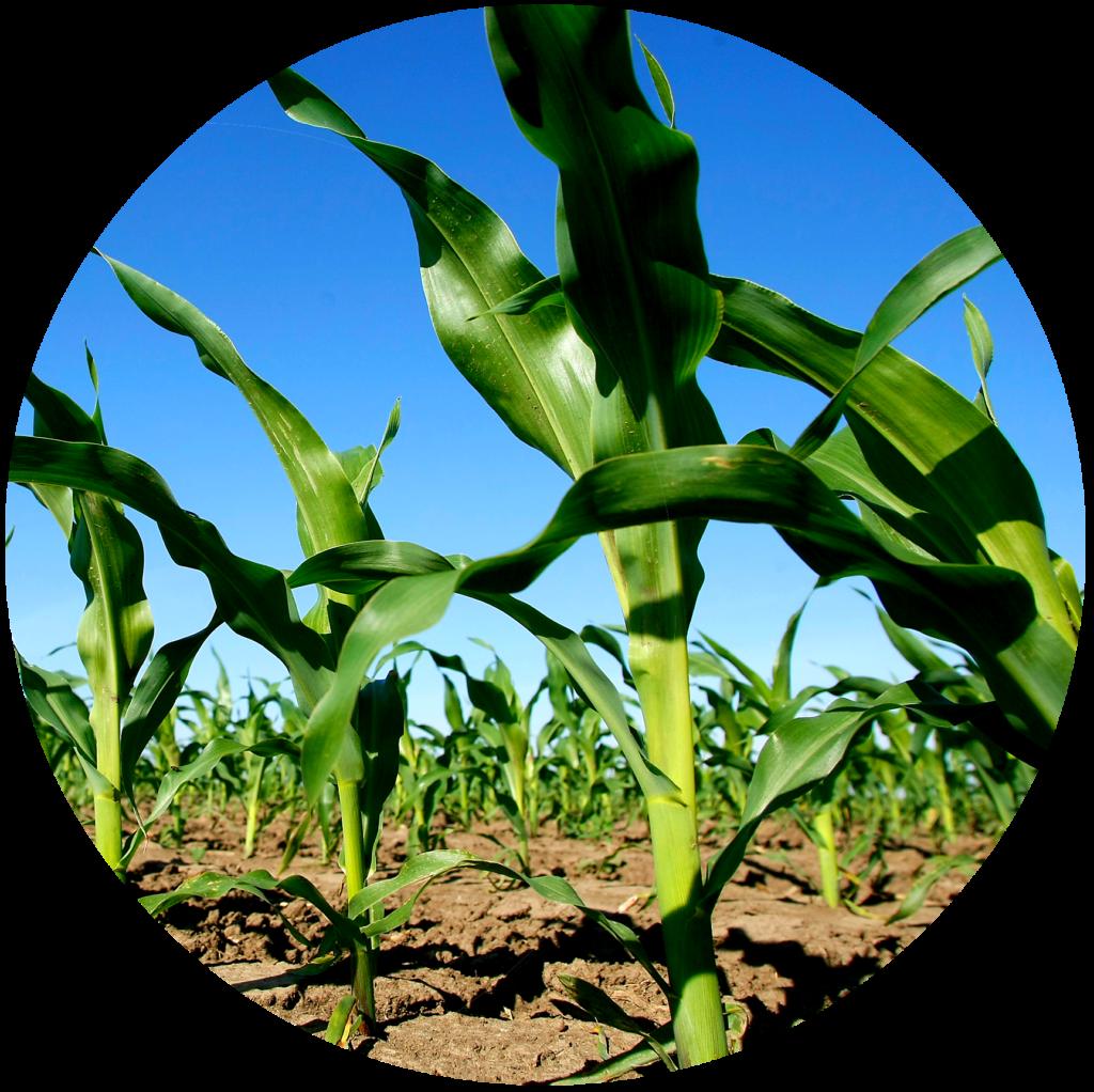 young-corn-circle